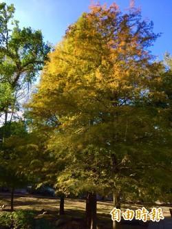 美!石門水庫溪州公園的落羽松染黃了