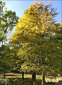 石門水庫溪洲公園 落羽松染黃了