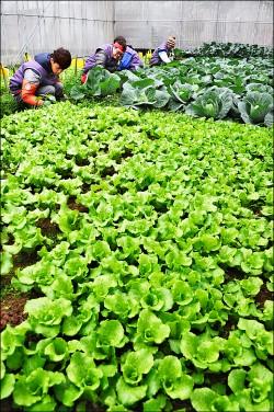 庇護工場無毒蔬菜 桃市長認養1年期