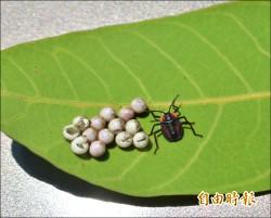中國荔枝椿象攻陷全台 果樹遭殃、酸液傷人