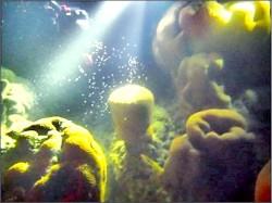 拍到了!東沙環礁珊瑚產卵