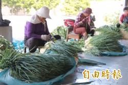 青蔥產量暴增 價格跌破5年新低