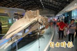 台南北門遊客中心鎮館之寶 抹香鯨骨骼標本變乾淨了