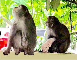 台灣獼猴耍狠 擄小豬當玩具