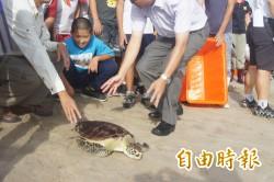 澎湖野放綠蠵龜 6隻為體弱小龜移窩養殖