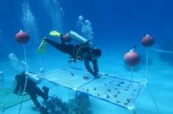 被預言50年從地球消失 科學家海底種珊瑚挽救