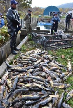 只偷魚卵卻「棄屍」  日本鮭魚場連傳竊案