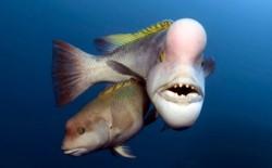 瞬間變性!BBC紀錄片揭露 這種魚求偶有致勝絕招