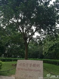習近平植樹成「瞻仰」熱點 外媒:一人得道樹也成仙