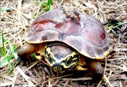 湄公河百餘新物種 盜獵嚴重威脅生態