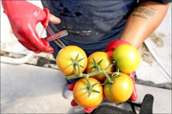 歐洲研究:一天吃超過兩粒番茄 遠離肺病