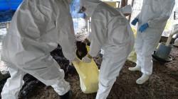 屏東1雞場染禽流感 撲殺逾4000隻土雞