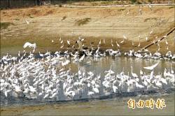 暖心魚塭 招待白鷺鷥吃尾牙