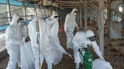 感染H5N2禽流感   屏東雞場撲殺1萬隻土雞