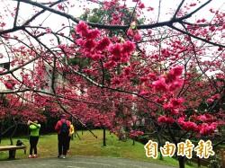 「櫻」浪太強!中壢這座公園 近200株櫻花開好開滿