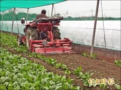 葉菜批發漲5成 農會歸功耕鋤奏效