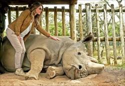 最後雄性北白犀 安樂死
