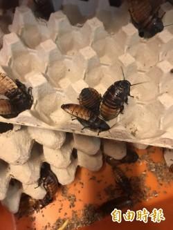 小強打不死?學者找到蟑螂不死的秘密