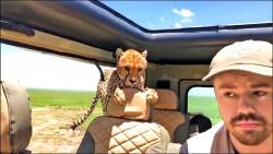 哇!獵豹…跳進車內了