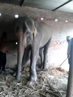 印度大象長期受虐致死 遭棄屍糞便收集區