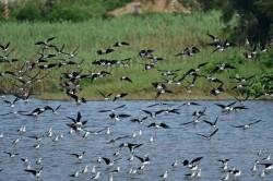 賞鳥正夯 高蹺鴴「黑白潮」金城湖報到