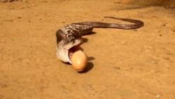 貪吃蛇4ni?眼鏡蛇吃太飽「逃不動」 狂吐7顆蛋蛋