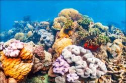 美科學家創舉 改造珊瑚基因