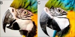 鸚鵡會臉紅
