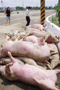 嘉義農損逾2.5億!近5千頭豬淹死 賴清德勘災眉頭深鎖