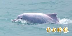 中華白海豚再少1隻! 全身腐爛「斷尾」陳屍大澳
