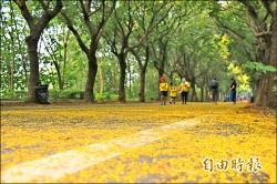 東螺溪台灣欒樹滿開 2000人躺街賞黃花雨