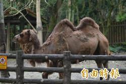 北市動物園駱駝咬人  園方研判「急著吃東西而誤傷」