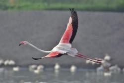 雲林沿海一隻大紅鶴從哪來?鳥友分析兩種可能