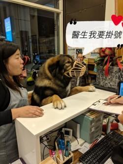 80公斤高加索犬「親自掛號」 要打預防針也超溫馴
