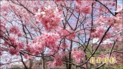 暖冬亂了套 梅櫻爭豔搶開花