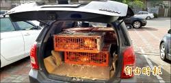 雞價看漲遭竊5000隻 「搶救雞雞行動」抓到賊