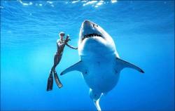 2.5噸超級大白鯊 夏威夷外海與人共游