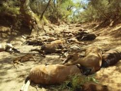 極端熱浪侵襲澳洲!大量野馬死在乾涸水坑