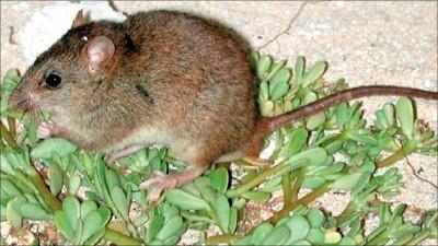 澳洲大鼠絕種 全球暖化哺乳類受害首例