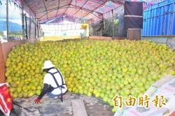 降低柚農損失  明台產險推出文旦柚保險