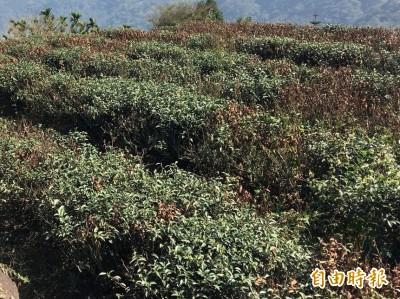 暖冬加久旱 雲林蒜頭、茶葉災損初估逾1億2000萬