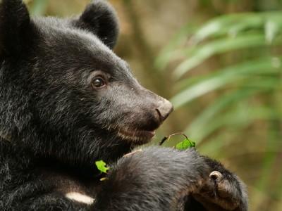叫牠「布妮」! 南安小黑熊 將野放布農傳統領域內