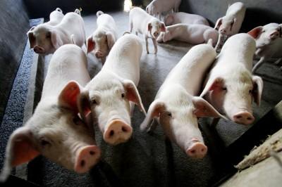 中國廣西再爆非洲豬瘟 越南又有2省輪陷
