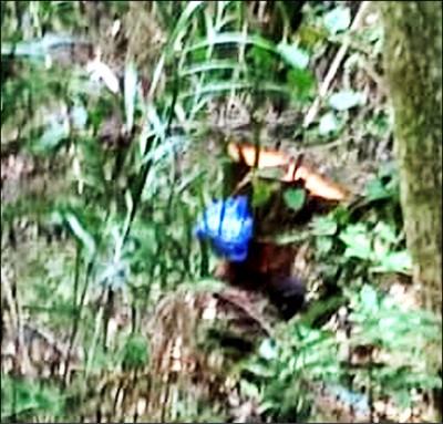 山老鼠現蹤 明池、阿里山 再傳盜伐