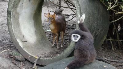 落單山羌被猴欺? 北市動物園:野外本來就住在一起啦!
