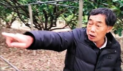中天文旦烏龍報導 農糧署︰沒更正、絕對告