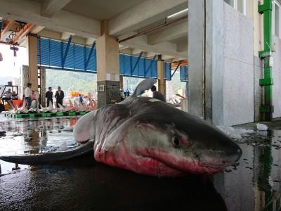 4米長大白鯊在東澳海域捕獲 目擊者:有被嚇到