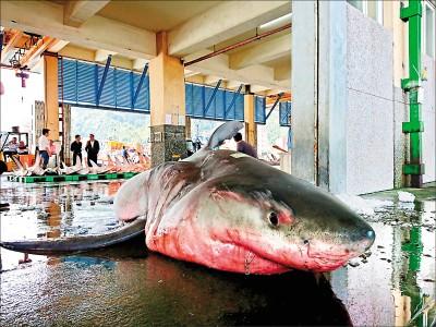 宜蘭驚見大白鯊 懷了14隻小鯊