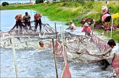 中國政治採購虱目魚 承諾2160噸、成交19噸/農委會:中國常開「芭樂票」 中央、地方應合作確保訂單落實