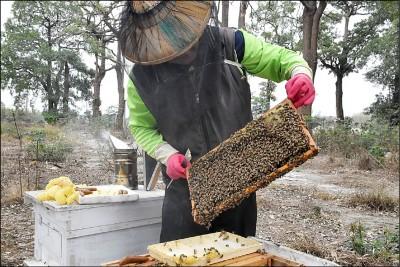 暖冬少雨!南投青梅減產7成 雲林養蜂採無花蜜